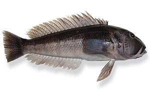 image of a blue cod fish