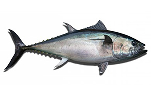 image of a bluefin tuna fish