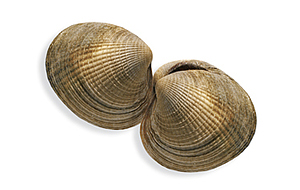 image of a little neck clams