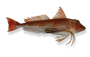 image of a red gurnard fish
