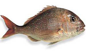 image of a red snapper fish